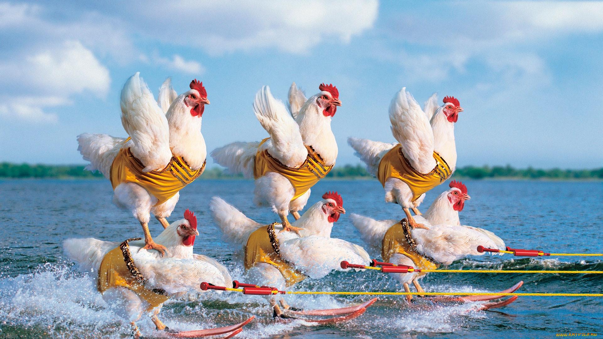 Курицы ржачные картинки